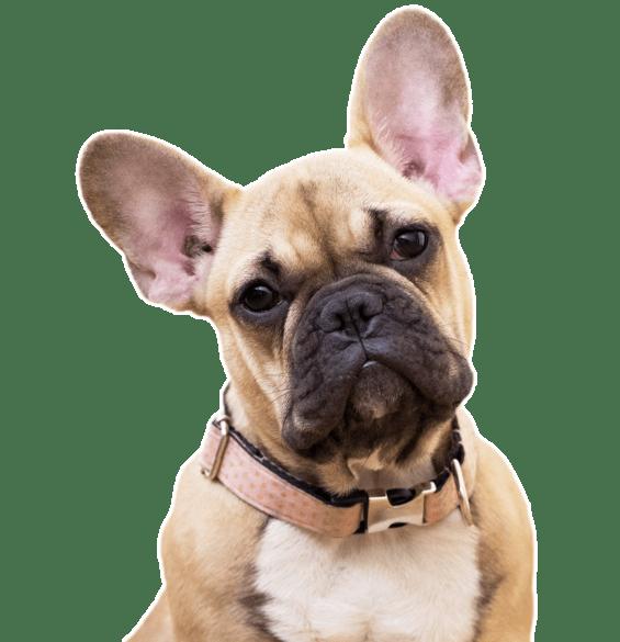 Foto de bulldog francés para la portada de la tienda de accesorios para perros BulldogsFranceses.com